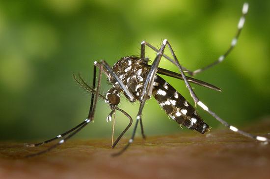 Mosquito aedes aegypti é o transmissor do zyka vírus.