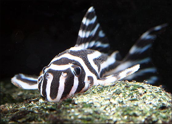 Peixe zebra pode recuperar a visão após danos na retina.